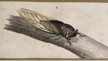 Cicadas and Locusts in the Manuscript Collection